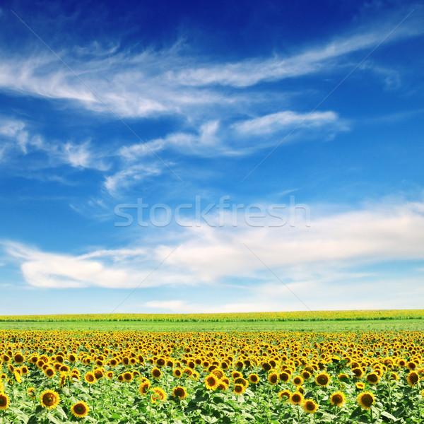 sunflower field Stock photo © Serg64