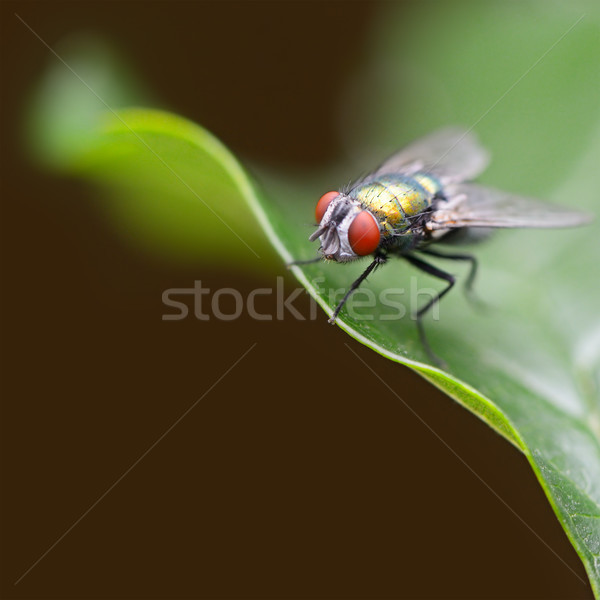 Large fly on a green leaf Stock photo © serg64