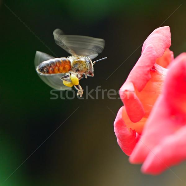 Háziméh virág nektár nyár ágy piros Stock fotó © serg64