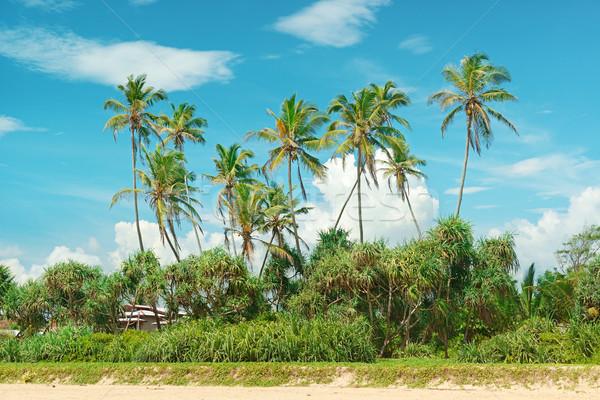 Coconut palms on the sandy shore     Stock photo © serg64