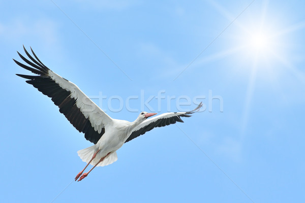 Flying White Stork sunlit Stock photo © Serg64