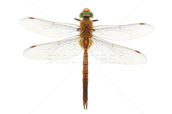dragonfly Stock photo © serg64