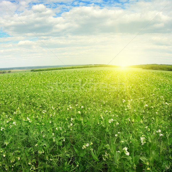 Beautiful sunrise over field pea Stock photo © serg64