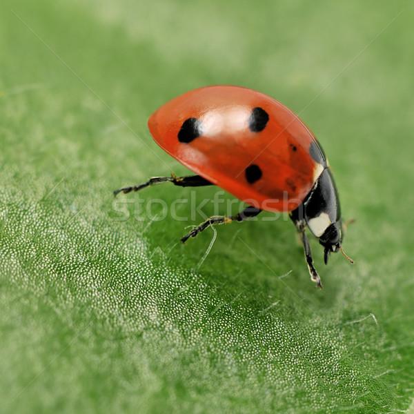 Katicabogár zöld levél tavasz fű piros élet Stock fotó © Serg64