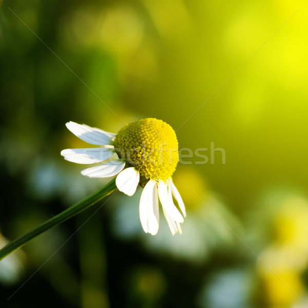 Daisy Stock photo © Serg64