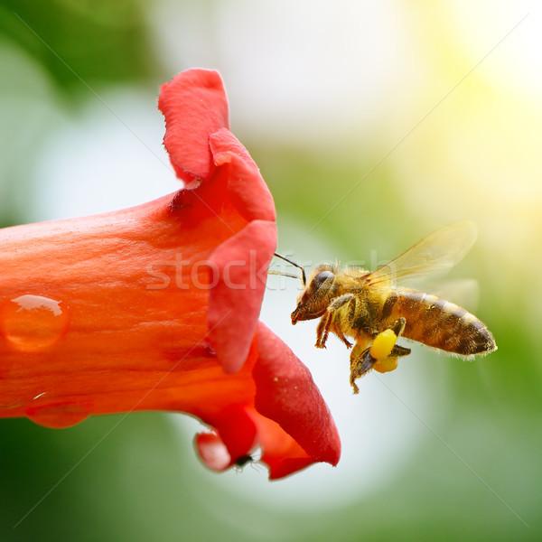 Foto stock: Mel · de · abelha · flor · néctar · verão · cama · vermelho