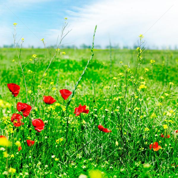Verde campo flores nuvens primavera Foto stock © Serg64