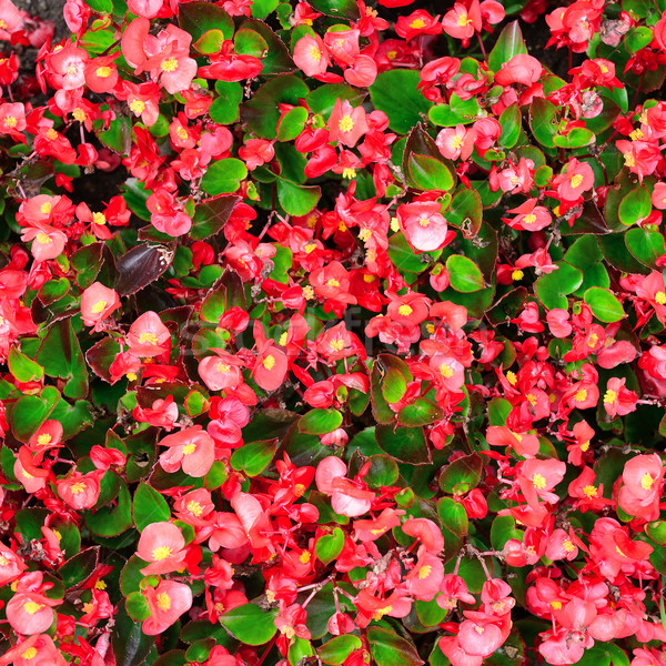 Blossoming flowerbeds in the park Stock photo © Serg64