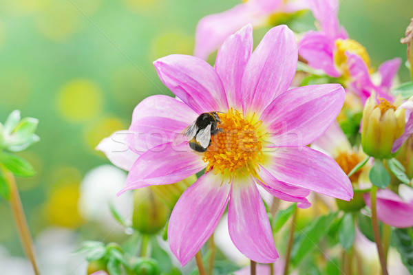 Large black bumble bee collects nectar on a dahlia. Stock photo © serg64