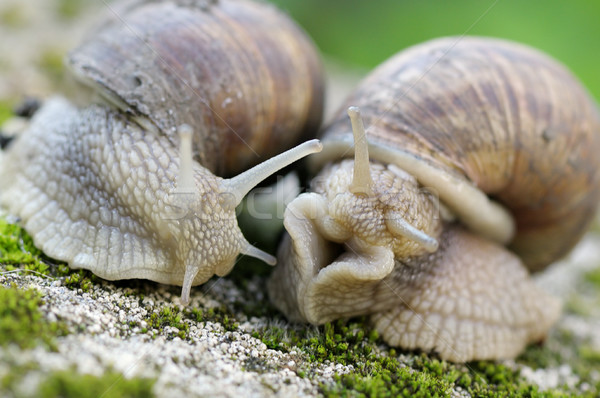 edible snail in grass Stock photo © Serg64