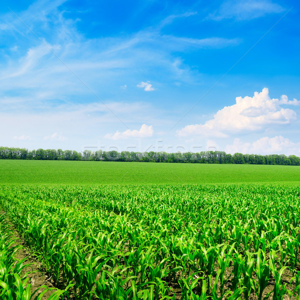 ярко кукурузы области Blue Sky солнце природы Сток-фото © serg64