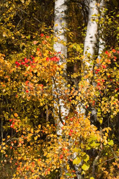 Betulla foresta albero panorama rosso Foto d'archivio © serpla