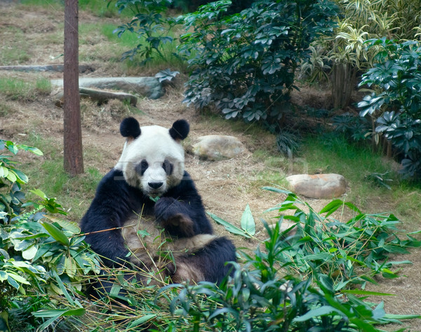 Gigante panda Ocean parco Hong Kong Foto d'archivio © serpla