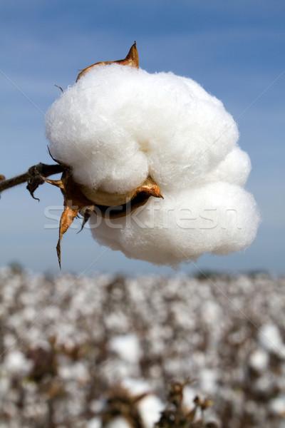 収穫 準備 綿 フィールド 空 ボール ストックフォト © sframe
