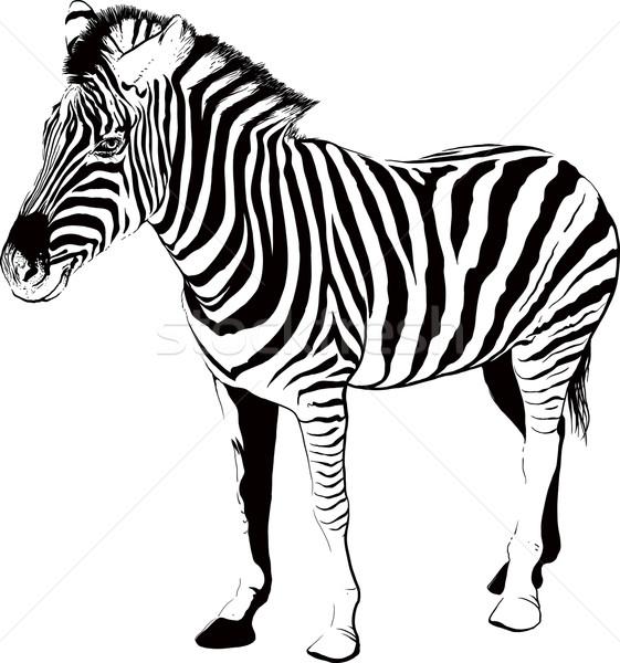 Zebra profil csíkos sziluett izolált fehér Stock fotó © sharpner