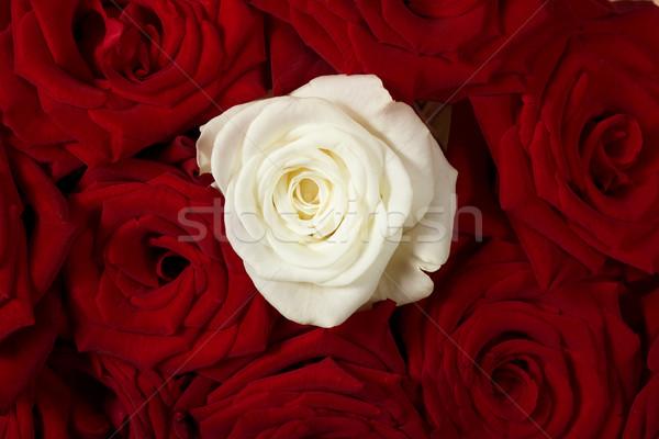 Vermelho branco rosas rosas vermelhas um rosa Foto stock © sharpner
