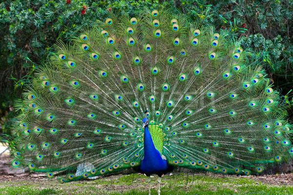 Peacock with fanned tail Stock photo © ShawnHempel