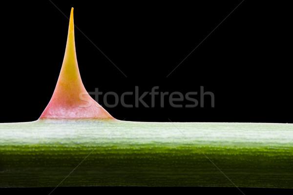 Rose thorn macro Stock photo © ShawnHempel