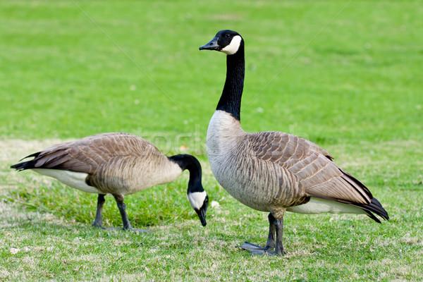 Canadian geese Stock photo © ShawnHempel