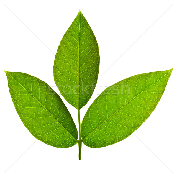 Walnut tree leaves Stock photo © ShawnHempel