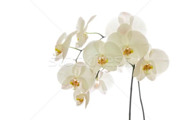 White Phalaenopsis Orchid Stock photo © ShawnHempel