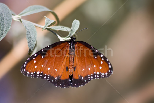 Queen butterfly - Danaus gilippus Stock photo © ShawnHempel