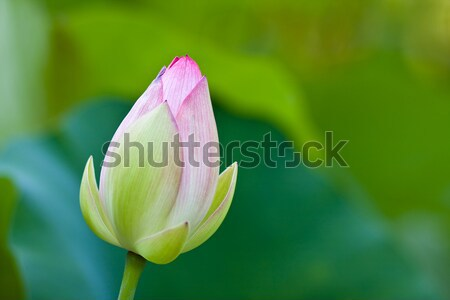 Lotus (Nelumbo nucifera) flower Stock photo © ShawnHempel