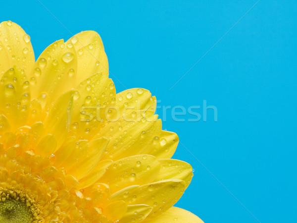 Yellow gerbera with water drops Stock photo © ShawnHempel