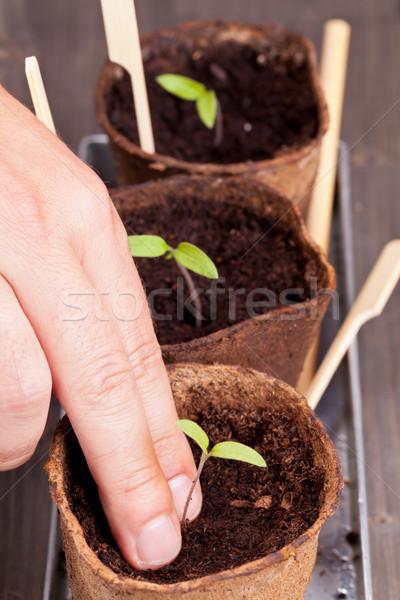 Sadzonka rozdzielenie ogrodnictwo człowiek sadzonki Zdjęcia stock © ShawnHempel