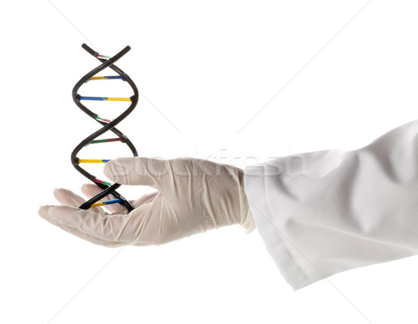 Researcher with glove holding DNA molecule model  Stock photo © ShawnHempel