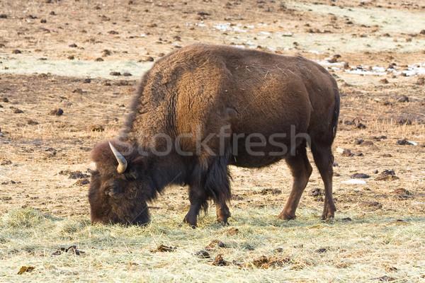 American bison Stock photo © ShawnHempel