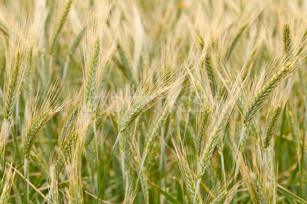 Rozs közelkép fülek mező étel farm Stock fotó © ShawnHempel
