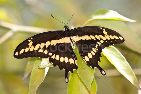 Giant Swallowtail - Heraclides cresphontes Stock photo © ShawnHempel