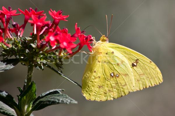 Felhőtlen etetés virág pillangó szépség zöld Stock fotó © ShawnHempel