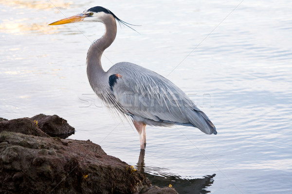 Grey heron (Ardea cinerea) Stock photo © ShawnHempel