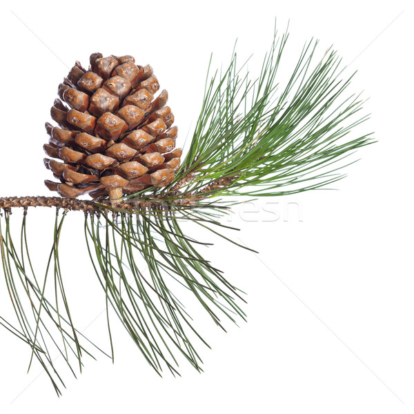 Pine twig and cone Stock photo © ShawnHempel