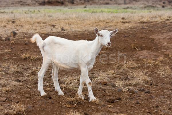 Koza biały pola gospodarstwa trawy charakter Zdjęcia stock © ShawnHempel