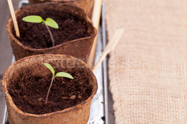 Seedlings Stock photo © ShawnHempel