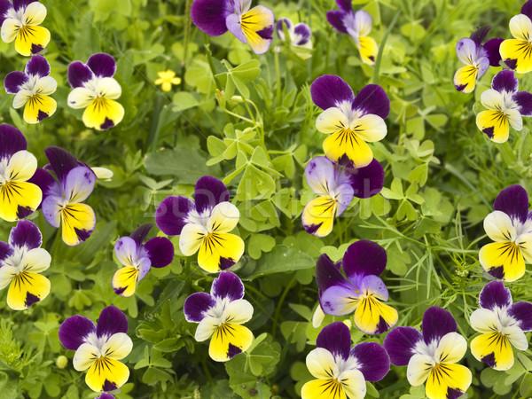 フィールド カラフル 春の花 クローバー 黄色 紫色 ストックフォト © sherjaca