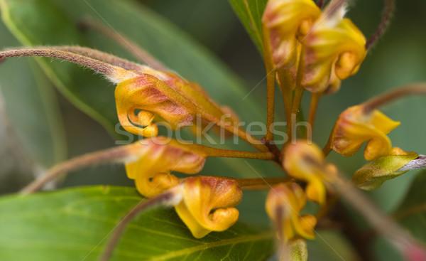 beautiful flower of grevillea venusta - australian native plant Stock photo © sherjaca