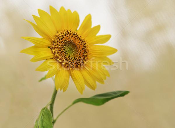 Spirituális citromsárga napraforgó néz jó szerencse Stock fotó © sherjaca