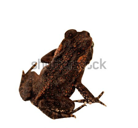 Juvenile Australian Cane Toad Declared Pest Stock photo © sherjaca