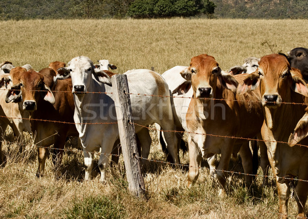 Australian brahma beef cattle line along a fence Stock photo © sherjaca