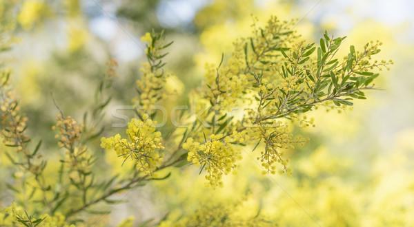 время Австралия цветы весны желтый Сток-фото © sherjaca