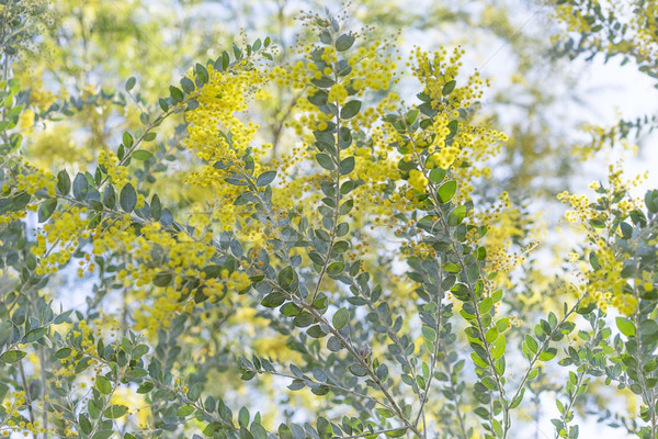 Queensland silver wattle tree flowers Stock photo © sherjaca