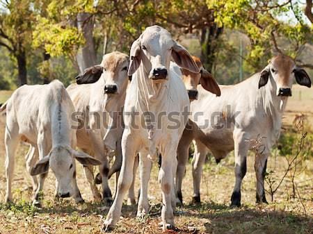 Koe kudde boerderij australisch rundvlees vee Stockfoto © sherjaca