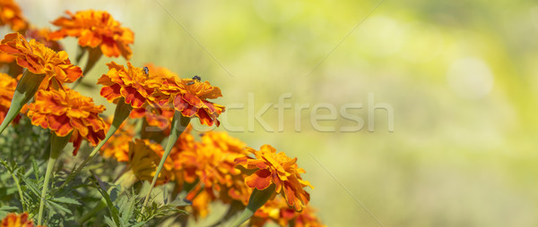 Colorful Golden Marigolds Background Stock photo © sherjaca
