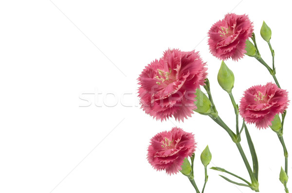 Stok fotoğraf: Pembe · yalıtılmış · beyaz · çiçek · yaz
