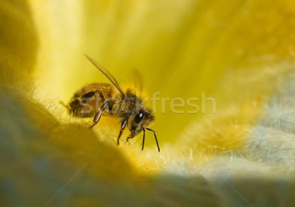 busy honey bee with honeydew on golden yellow  blue flower Stock photo © sherjaca