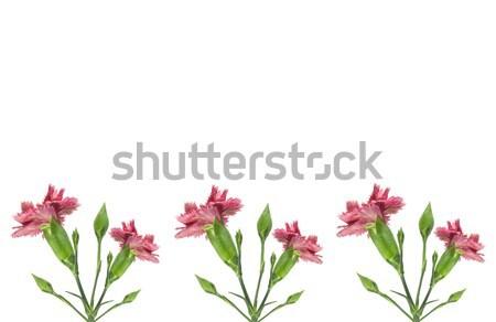 розовый гвоздика цветы границе изолированный белый Сток-фото © sherjaca